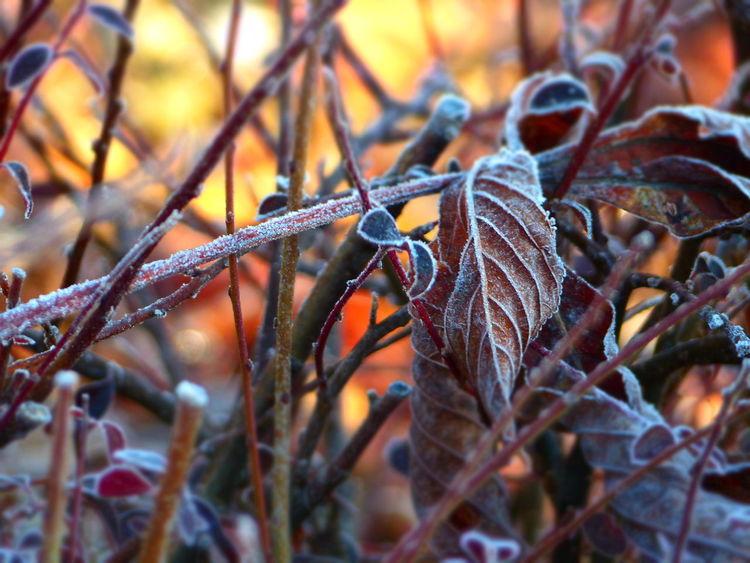 Raureif, Laub, Winter, Fotografie, Morgen