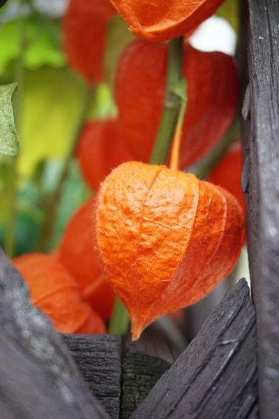 Lampionblume, Herbst, Orange, Fotografie