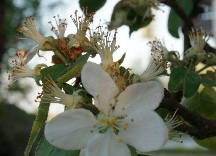 Blüte, Apfel, Fotografie, Licht