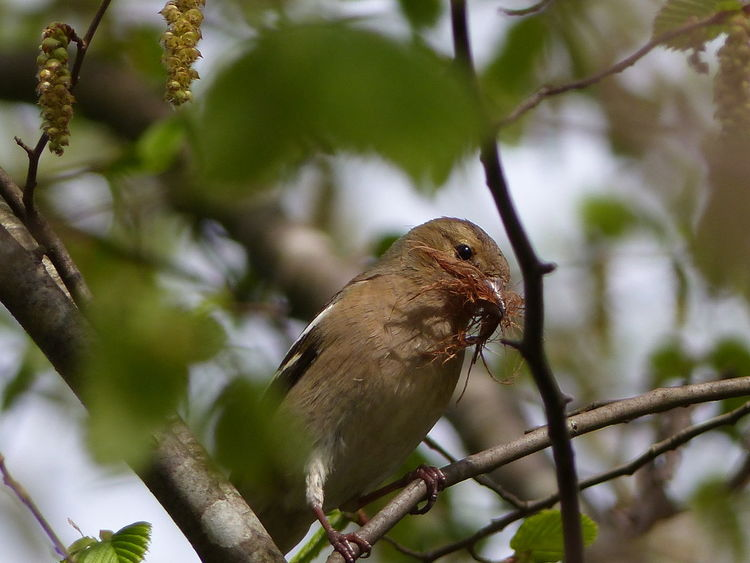 Singvogel, Nest, Baum, Frühlingsgrün, Buchfinkin, Fotografie