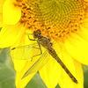 Libelle, Blüte, Blütenkorb, Sonnenblumen