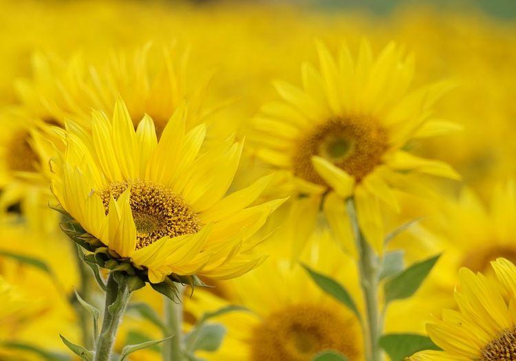 Watchvlb6a, Sonnenblumen, Id6zoy, Blüte, Youtube, Gelb