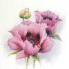 Mohn, Mohnblumen, Pflanzen, Blumen