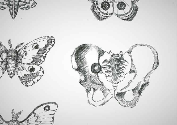 Schmetterling, Nachtfalter, Becken, Beckenknochen, Zeichnungen