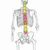 Skelett, Gelantine, Wirbelsäule, Flexibilität