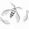 Ahorn, Motte, Flügel, Schmetterling