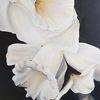 Weiß, Blumen, Schwarz, Narzissen