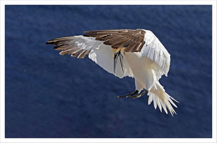 Vogel, Helgoland, Fliegen, Basstölpel, Fotografie,