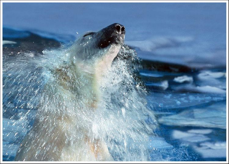 Eisbär, Eis, Wasser, Bunt, Malen, Ursus maritimus
