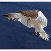 Fliegen, Basstölpel, Vogel, Helgoland
