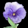 Blumen, Aquarellmalerei, Stiefmütterchen, Natur