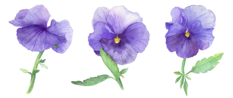 Blau, Blumen, Aquarellmalerei, Stiefmütterchen, Natur, Pflanzen