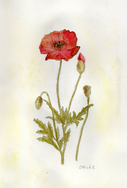 Blumen, Wiese, Aquarellmalerei, Sommer, Blüte, Mohn