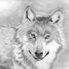 Wolf, Bleistiftzeichnung, Zeichnung, Zeichnungen