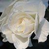 Rose, Pflanzen, Digital, Stimmung