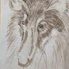 Hund, Collie, Zeichnungen,