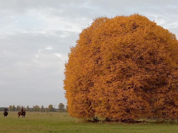 Linde, Herbst, Fotografie