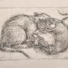 Nagetier, Tiere, Radierung, Ratte
