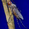 Dengue, Stechmücke, Fieber, Malerei