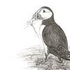 Papageitaucher, Bleistiftzeichnung, Zeichnungen