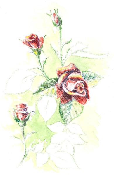 Skizze, Rose, Stillleben, Zeichnung, Buntstiftzeichnung, Aquarellmalerei