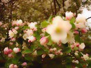 Natur, Apfelblüten, Farben