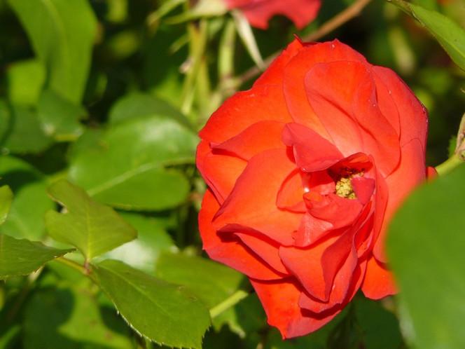 Fotografie, Grün, Rose, Pflanzen, Natur, Welt