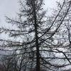 Lärche, Baum, Grau, Fotografie