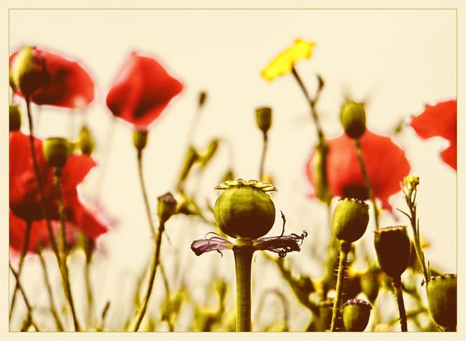 Blüte, Mohnblüten, Natur, Fotografie, Mohnfeld, Mohnkapsel