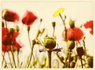 Blumen, Wiese, Mohnblüten, Blüte