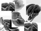 Schwarz weiß, Fotografie, Blüte, Tulpen
