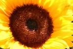 Sonne, Sommer, Sonnenblumen, Stillleben