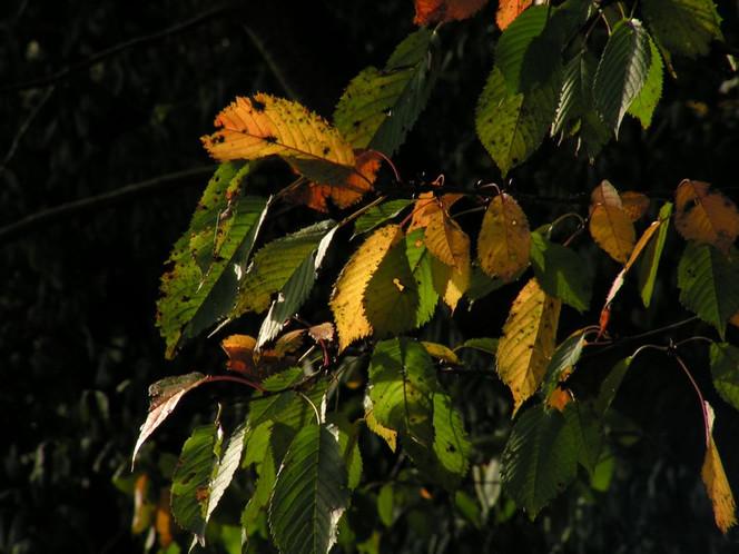 Kirschblätter, Fotografie, Herbst