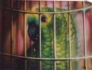 Papagei, Käfig, Grün, Blaustirn
