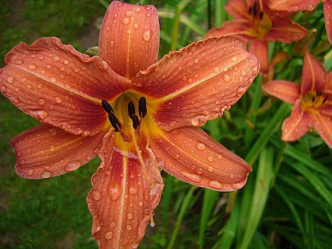 Blumen, Orange, Fotografie, Regen, Tropfen, Lilie