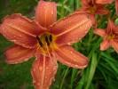 Regen, Lilie, Tropfen, Blumen