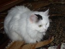 Schwarz weiß, Katze, Pinnwand