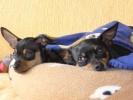 Hund, Zwergrehpincher, Pinnwand