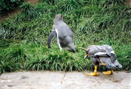 Pinguin, Fotografie, Tiere,