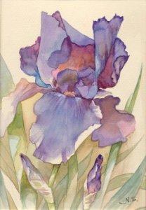 Iris, Natur, Aquarellmalerei, Lila, Stillleben, Blumen