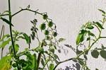 Hellgrün, Tomate, Licht, Fotografie