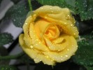 Regen, Wasser, Natur, Rose