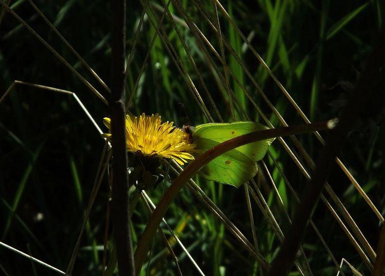 Schmetterling, Dickicht, Elfen, Wald, Rasen, Sonnenlicht