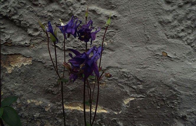 Grau, Violett, Blumen, Mauer, Fotografie, Bodenschätze