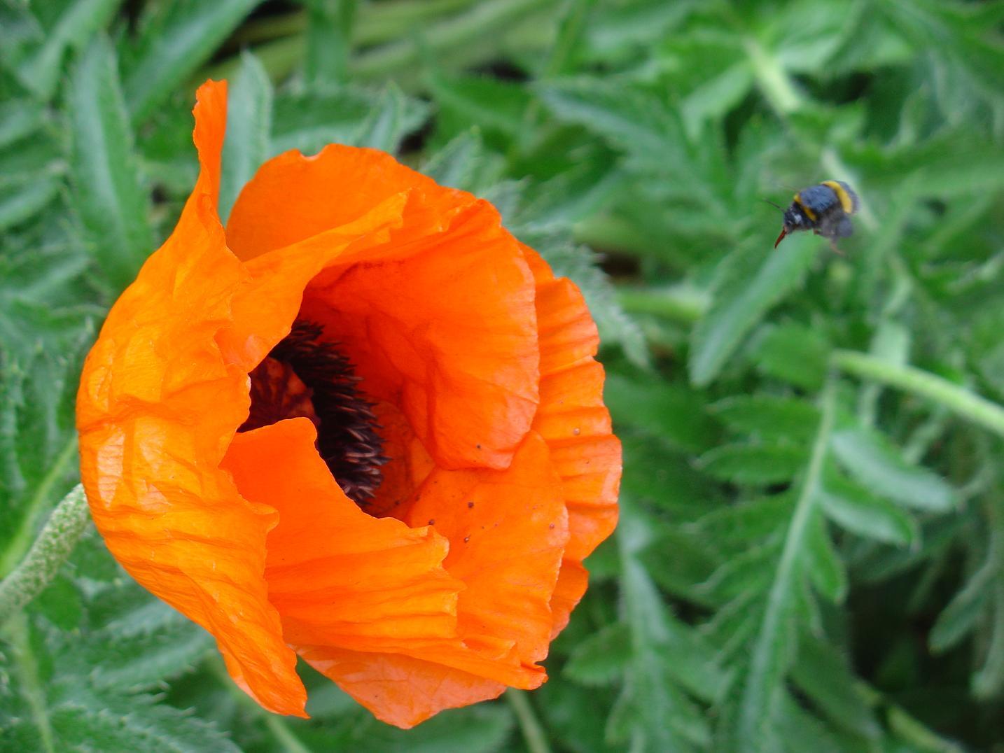 bild mohnblumen blumen bl te insekten von doris abel bei kunstnet. Black Bedroom Furniture Sets. Home Design Ideas