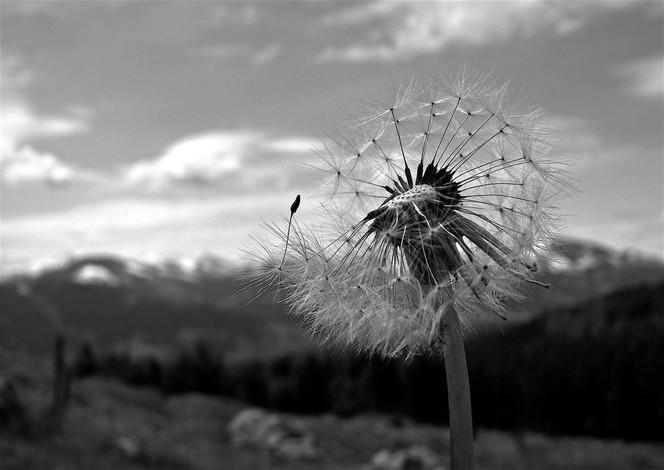 Pusteblumen, Landschaft, Fotografie, Sonnenblumen,