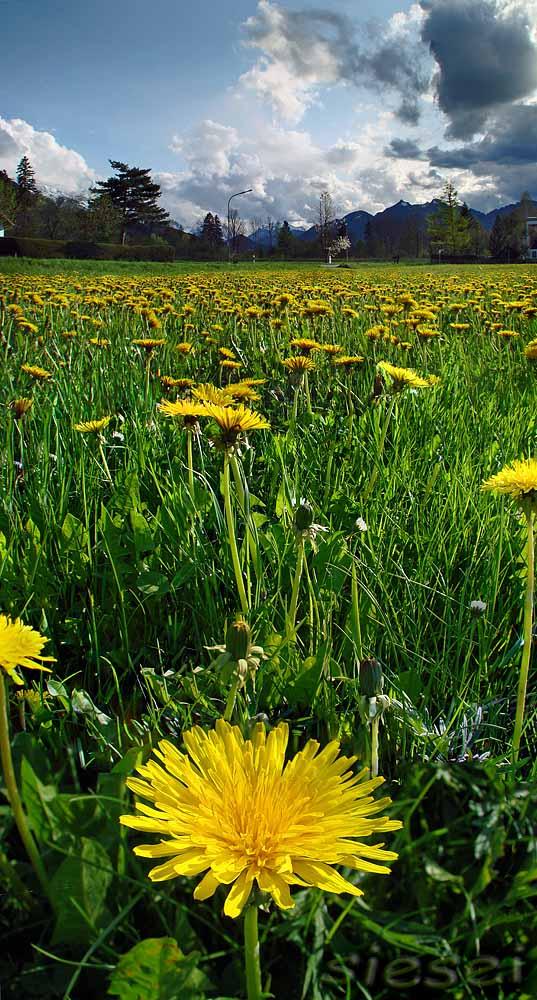 Common dandelion image art by christian h nig on kunstnet for Christian hoenig