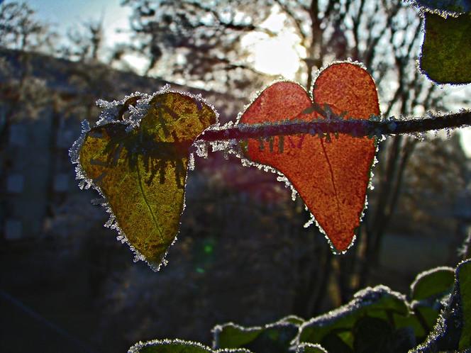 Winter, Herz, Blätter, Raureif, Rot, Farben
