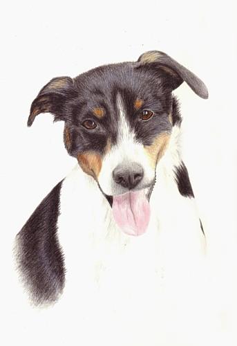 Russel, Hund, Rüde, Zeichnungen, Tiere,