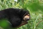Malaienbär, Bär, Natur, Tiere